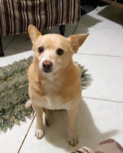 Família pede ajuda para encontrar cachorrinha desaparecida no Jardim Calegari