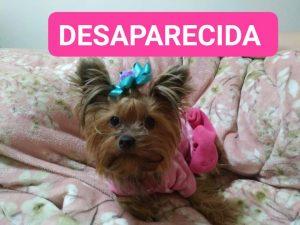 Procura-se por cachorra desaparecida nas imediações do Parque Progresso, Matão Sumaré Recompensa R$ 1.000