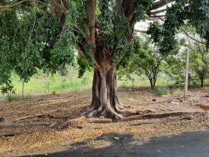 Conselho de Meio Ambiente de Sumaré realiza reunião  virtual dia 28 para deliberar sobre cortes e podas de árvore